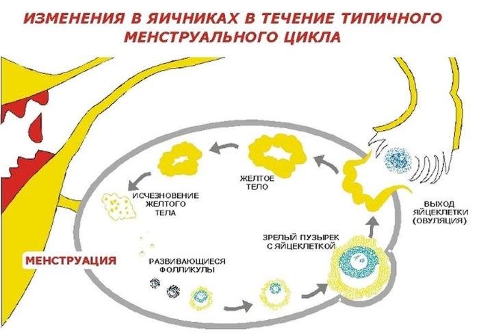 Желтое тело в яичнике - что это такое на узи при беременности, задержке, перед, после месячных, овуляции. Тест положительный и отрицательный