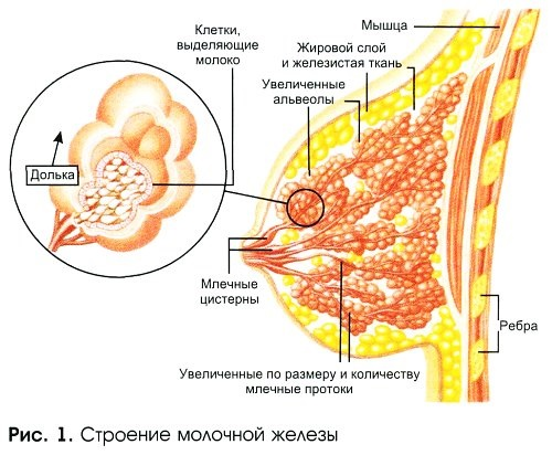 УЗИ молочных желез - когда можно делать, расшифровка, норма, подготовка, на какой день цикла