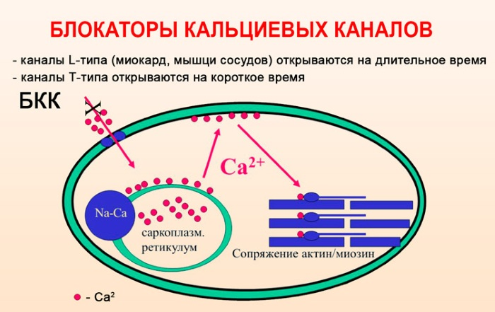Блокаторы кальциевых каналов. Список препаратов последнего поколения. Механизм действия, классификация
