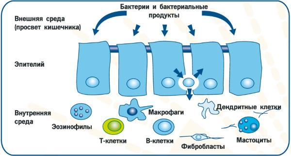 Восстановление микрофлоры кишечника медикаментозными препаратами и народными средствами, диета