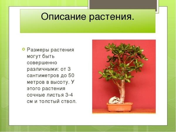 Денежное дерево. Лечебные свойства, рецепты применения в народной медицине и противопоказания