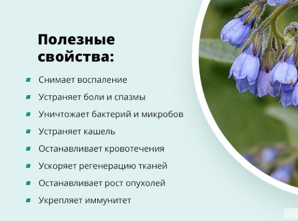 Окопник. Полезные и лечебные свойства, противопоказания, применение растения в народной медицине и косметологии. Как собирать и хранить