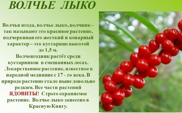 Волчья ягода: фото и описание, как выглядит черная, красная, белая, польза и вред плодов, листьев, симптомы отравления