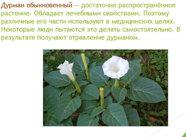 Дурман трава. Фото и описание, лечебные свойства растения, рецепты применения в народной медицине и косметологии