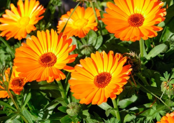 Цветки ноготков лечебные свойства