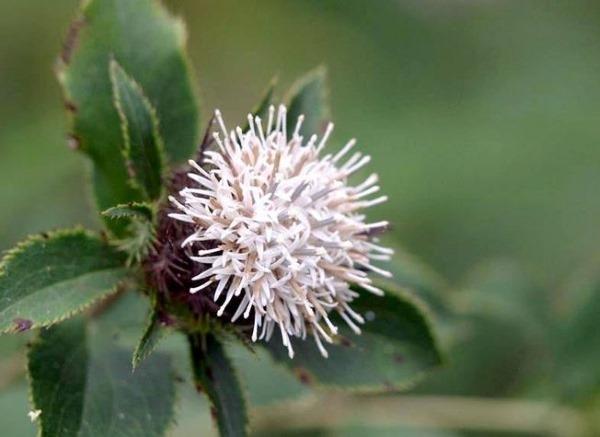 Лечебные свойства шлемника байкальского и противопоказания, экстракт корня, настойка травы