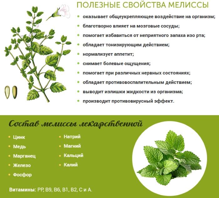Мелисса. Полезные свойства, рецепты применение травы, заготовка растения. Противопоказания
