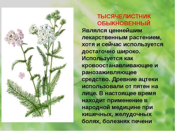 Тысячелистник: лечебные свойства, виды растения, рецепты применения в народной медицине. Противопоказания