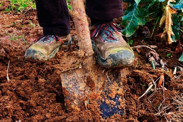 Лечебные свойства корня девясила. Рецепты, как заготовить, заваривать, принимать траву. Противопоказания