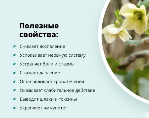 Морозник кавказский: применение и противопоказания, цена. Как принимать для похудения. Посадка и уход