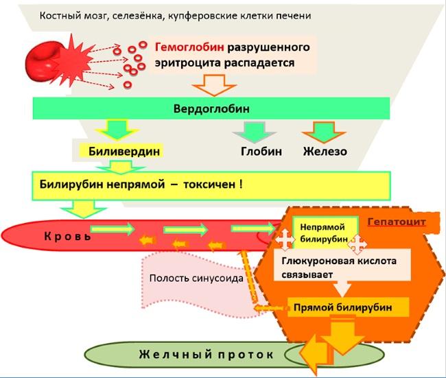 Печеночные показатели биохимического анализа крови повышены, понижены. Что это значит, нормы, причины