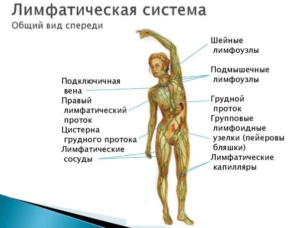 Паховые лимфоузлы у женщин. Расположение, фото, причины воспаления, увеличения, боль. Диагностика, чем лечить