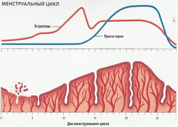 Эндометрий по дням цикла. Нормы толщины для зачатия, ЭКО, при беременности, менопаузе, длинном цикле, в фазе пролиферации, неоднородный