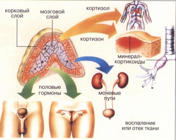 Органы человека. Расположение в картинках с надписями со спины, левой, правой стороны, спереди. Самые необходимые для жизни. Системы организма