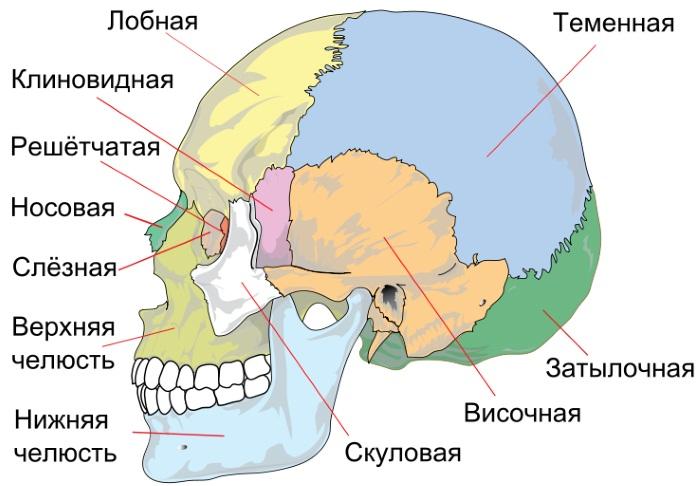 Строение черепа человека. Фото с описанием, анатомия. Вид сзади, спереди, сверху, сбоку, в разрезе