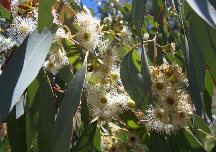 Эвкалипт. Лечебные свойства и противопоказания. Как приготовить листья, эфирное масло, трава
