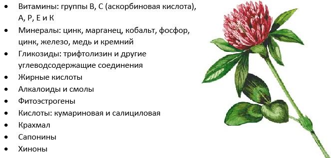 Клевер. Полезные свойства, как заваривать красный, белый, полевой. Применение и противопоказания