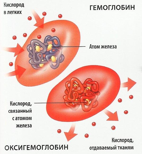 MCV в анализе крови. Что это такое, норма и отклонения у детей, женщин, мужчин