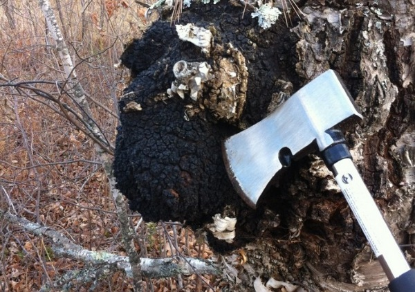 chaga lechebnye svoystva 3 - Chaga birch mushroom useful properties and application