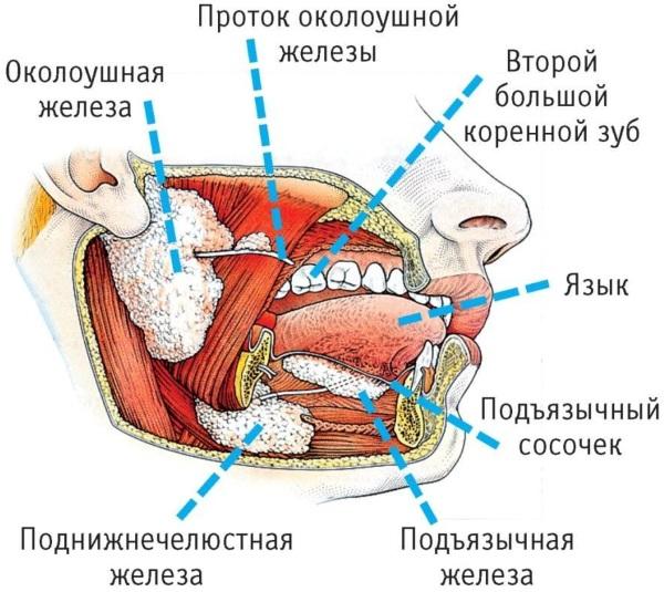 Слюнные железы. Где находятся, симптомы воспаления, УЗИ, лечение заболеваний