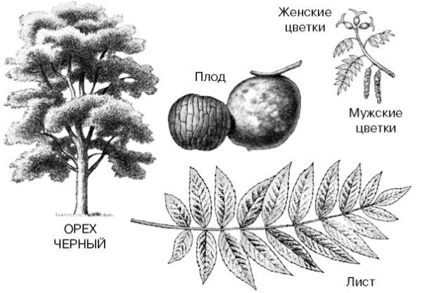 Черный орех. Полезные свойства настойки, экстракт, масло, листья. Применение народной медицине, как принимать, противопоказания