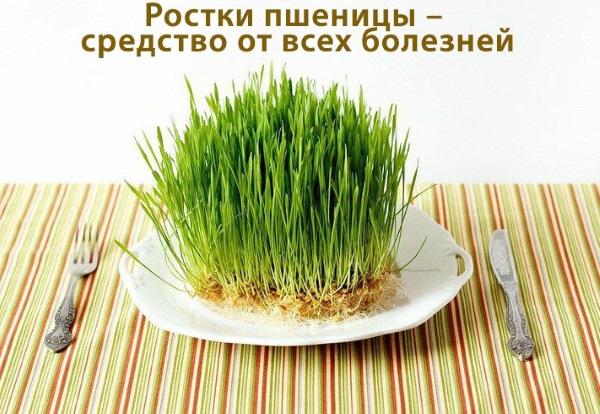 Ростки пшеницы. Польза и вред, как прорастить и принимать пророщенные, зеленые, в народной медицине