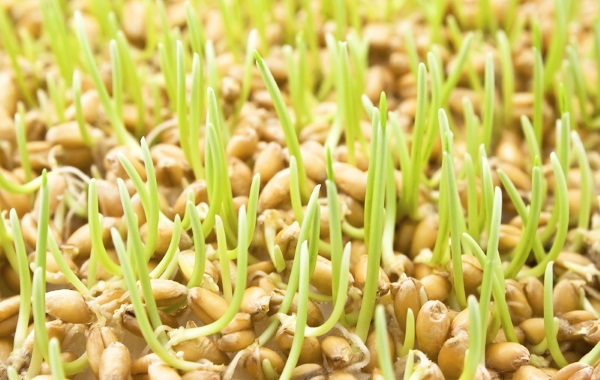 Польза хлеба из пророщенной пшеницы