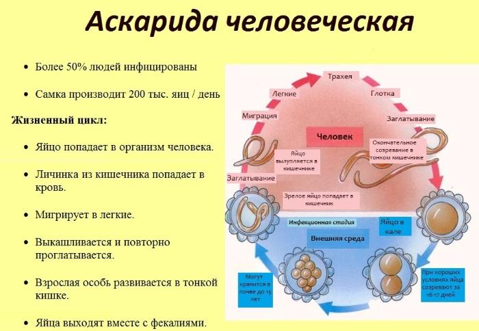 Глистная инвазия. Симптомы, диагностика и лечение у взрослых и детей