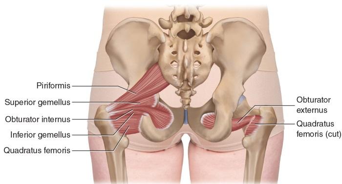 Мышцы верхних и нижних конечностей. Названия и функции, физиологическое строение человека