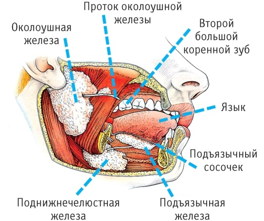 Слюнные железы. Где находятся, за что отвечают, функции, анатомия, строение, болезни