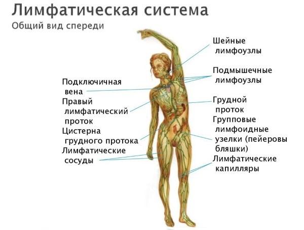 Воспаление лимфоузлов у женщин в паху, под мышкой, на шее, грудине, животе, ноге. Причины и лечение