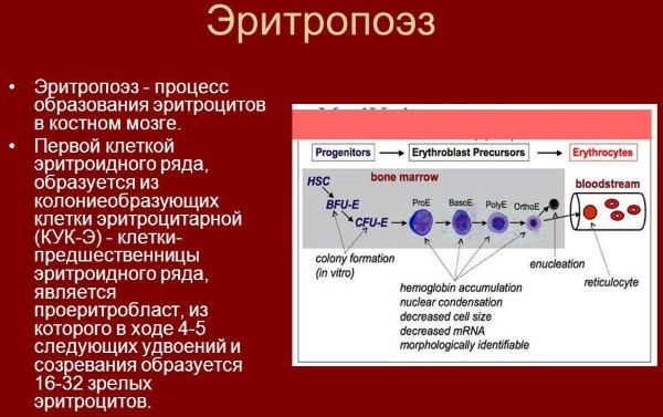Норма эритроцитов в крови у женщин после 40-60 лет. Таблица по возрасту, причины оседания