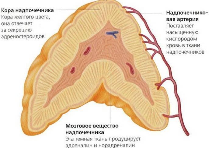 Кора надпочечников: гормоны и функции, механизм действия, анализы, лечение, препараты