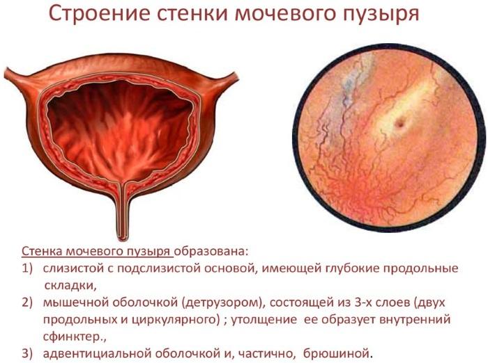 Мочевой пузырь у женщин. Где находится, строение, функции, симптомы болезней и лечение