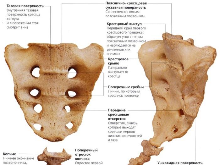 Крестец. Анатомия, где находится у человека, строение, фото, как болит, лечение