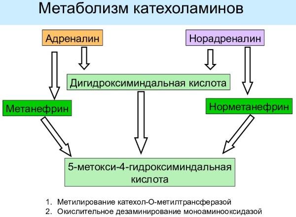 Метанефрины и норметанефрины в суточной моче, крови. Норма, подготовка, как сдавать, что показывает анализ