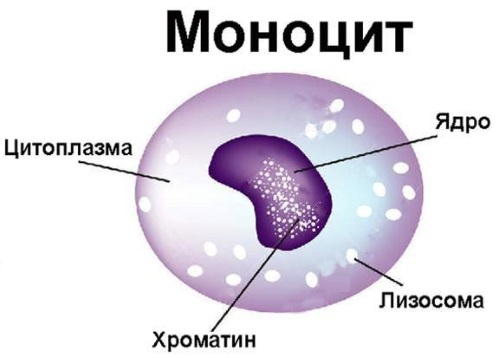 Моноциты, норма у женщин по возрасту. Таблица, что значит повышенные, причины, анализ
