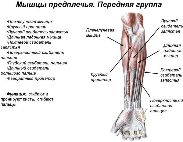 Предплечье. Где находится у человека, фото, строение, анатомия, функции мышц