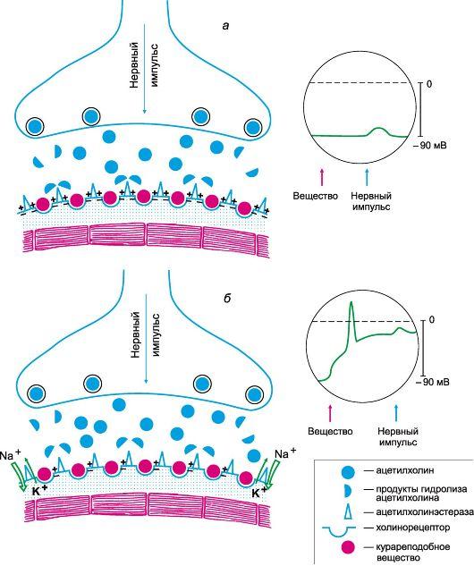 Сирдалуд (Sirdalud) или Мидокалм (Mydocalm). Что лучше, эффективнее при шейном остеохондрозе, грыже позвоночника, болезни поясничного отдела