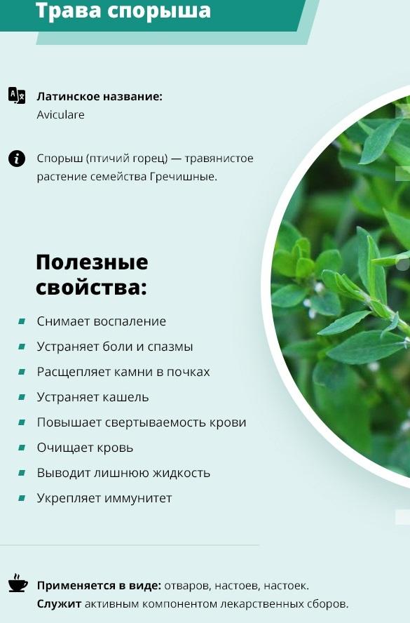 Спорыш (Горец птичий). Лечебные свойства семена, трава, применение для мужчин, женщин, противопоказания