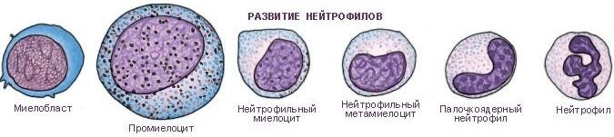 Палочкоядерные нейтрофилы повышены, понижены. Причины, норма по возрасту