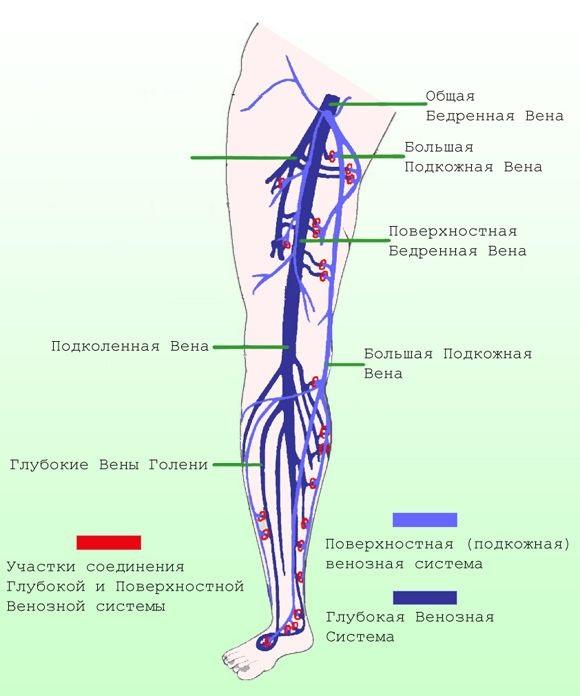Вены нижних конечностей. Анатомия, УЗИ, заболевания, лечение