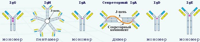 Антитела к кори. Норма, подробное описание сдачи анализа