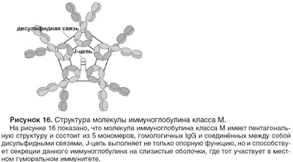 Иммуноглобулин М. Что показывает, за что отвечает, норма, что значит повышен, понижен