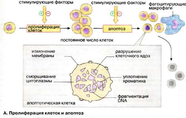 Пролиферация цилиндрического эпителия. Что это такое, лечение, причины перед месячными, при менопаузе, климаксе, беременности, после родов