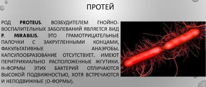 Proteus mirabilis (протей мирабилис). Что это в моче, мазке, кале, лечение
