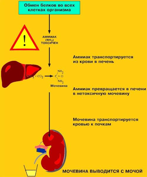 Urea (мочевина) в биохимическом анализе крови. Что это такое, за что отвечает