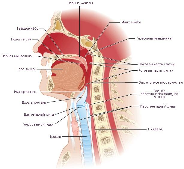 Верхние дыхательные пути. Что это такое, что включают в себя, анатомия, функции, болезни, лечение