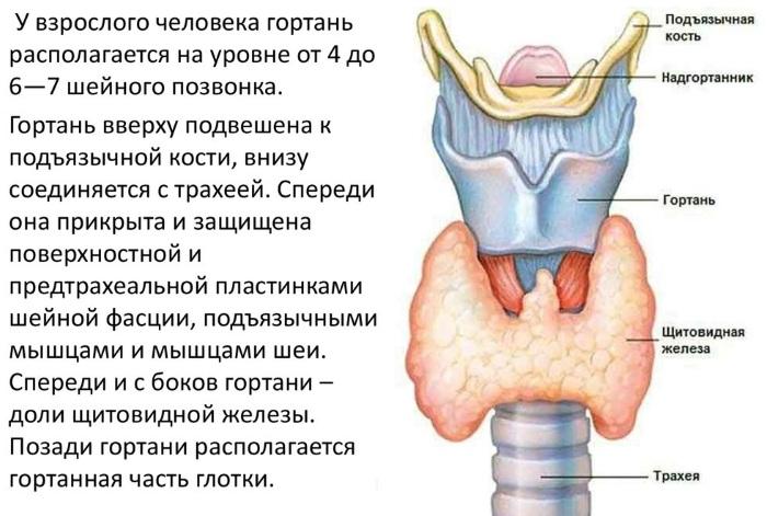 Гортань и глотка. Анатомия, строение, функции, заболевания