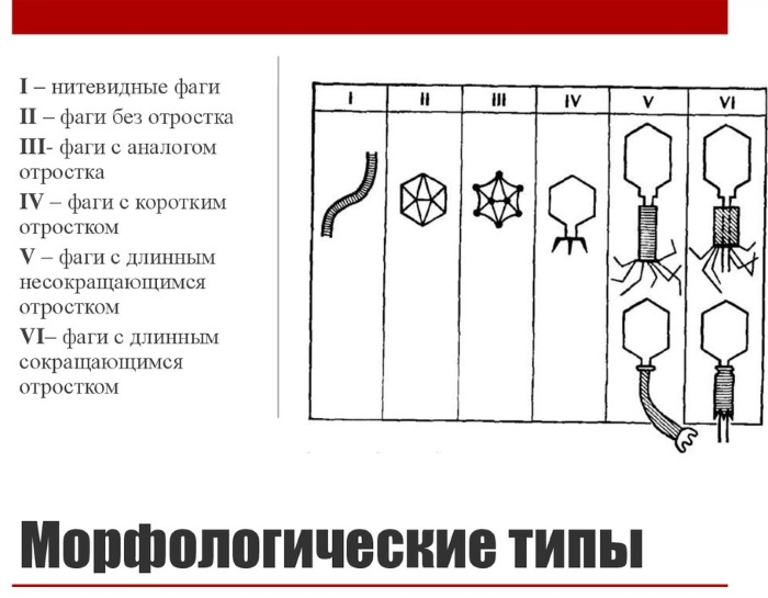 Бактериофаги. Что это такое, список препаратов, виды, где купить, цена